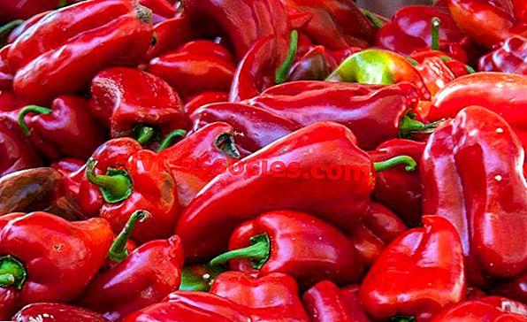 Chile (Pepper)