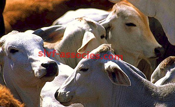 Разведение ног крупного рогатого скота