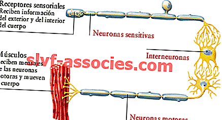 Associativ neuron eller interneuron